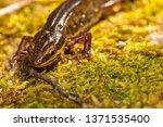 Wildlife macro portrait of Palamte Newt (Lissotriton helveticus) on moss near pond in Poole, Dorset, UK.