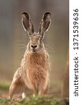 Stock photo european hare lepus europaeus 1371539636