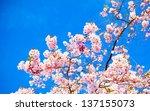Sakura Flowers Blooming....