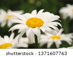 Flowering Of Daisies. Oxeye...