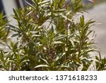 detail of oleander leaves ... | Shutterstock . vector #1371618233