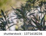 detail of oleander leaves ... | Shutterstock . vector #1371618236