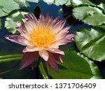 Close Up Rose Pink Lotus Flowe...