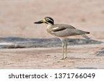 beautiful bird  great thick... | Shutterstock . vector #1371766049