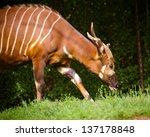 Bongo Antelope  Tragelaphus...