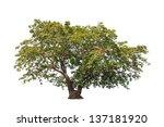 tropical tree in the northeast... | Shutterstock . vector #137181920
