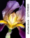 Iris Germanica Violet Flower...