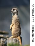 close up of meerkat  suricata... | Shutterstock . vector #1371958730