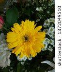yellow gerbera or barberton... | Shutterstock . vector #1372049510