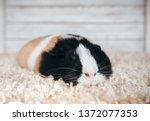 Sleepy Guinea Pig Sleeping In...