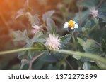 white little ironweed for... | Shutterstock . vector #1372272899