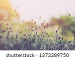 close up grass flower in garden ... | Shutterstock . vector #1372289750