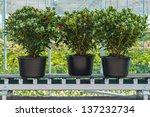 Three Skimmia Plants On A...