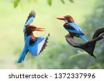 a couple of white throated... | Shutterstock . vector #1372337996