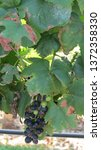 Cabernet Sauvignon Grape Vines