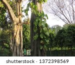 two trees standing tall one... | Shutterstock . vector #1372398569