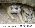 the suricata suricatta or... | Shutterstock . vector #1372414163