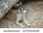 the suricata suricatta or... | Shutterstock . vector #1372414169