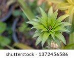closeup fresh pineapples in... | Shutterstock . vector #1372456586