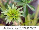 closeup fresh pineapples in... | Shutterstock . vector #1372456589