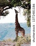 tall giraffe grazes on tall... | Shutterstock . vector #1372481186