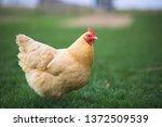 Buff Orpington chicken in backyard farm