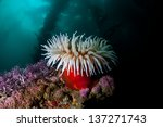 A Fish Eating Anemone  Urticin...