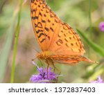 Closeup of fritillary species feeding and pollinating on a purple wildflower in the grasslands of the Crex Meadows Wildlife Area in Northern Wisconsin