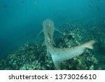 sandtiger shark or grey nurse... | Shutterstock . vector #1373026610
