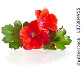 Geranium Pelargonium Heads...