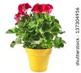 red geranium flower in a yellow ... | Shutterstock . vector #137304956