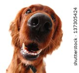 Irish Setter Dog  Taken At Fu...