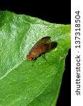 fly on green leaf | Shutterstock . vector #137318504