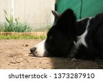 close up snout of a border...   Shutterstock . vector #1373287910