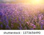 Lavender Flowers   Sunset Over...