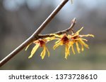 branch of hamamelis or witch... | Shutterstock . vector #1373728610