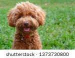 Stock photo portrait image of cute puppy toy poodle sit at green garden 1373730800