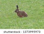 Stock photo european hare in meadow 1373995973