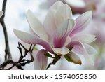 Pink Magnolia Flowers In...