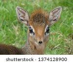 dik dik antelope  | Shutterstock . vector #1374128900