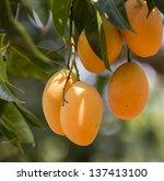 Sweet Yellow Marian Plum  Plum...