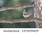a crested tit on a branch | Shutterstock . vector #1374254429