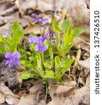 Violet Wood  Viola...