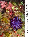 Small photo of A Crown-of-thorns seastar (Acanthaster planci) feeds on live corals in the Andaman Sea