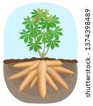 cassava tree plant  tapioca...   Shutterstock .eps vector #1374398489