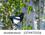 magpie without tail feathers... | Shutterstock . vector #1374472526