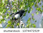 magpie without tail feathers... | Shutterstock . vector #1374472529