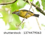 beautiful silver throated... | Shutterstock . vector #1374479063