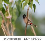 adult red vented bulbul ... | Shutterstock . vector #1374484730