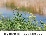 northern wheatear in spring. | Shutterstock . vector #1374505796